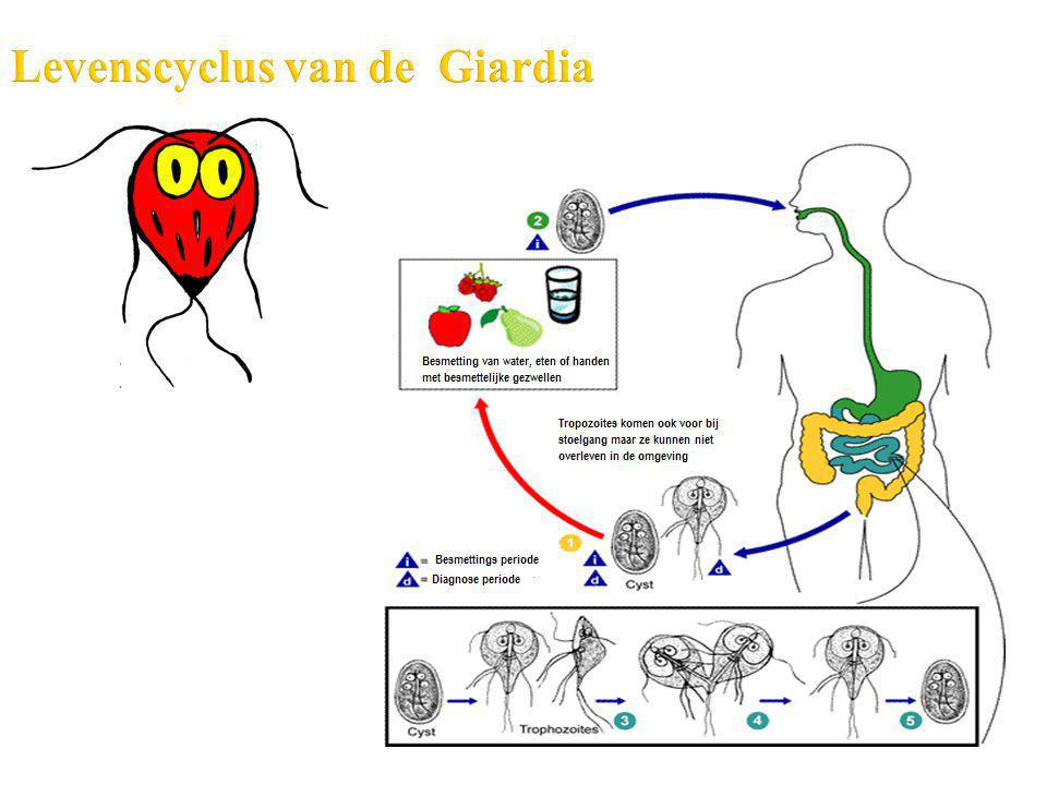 Levenscyclus van de Giardia