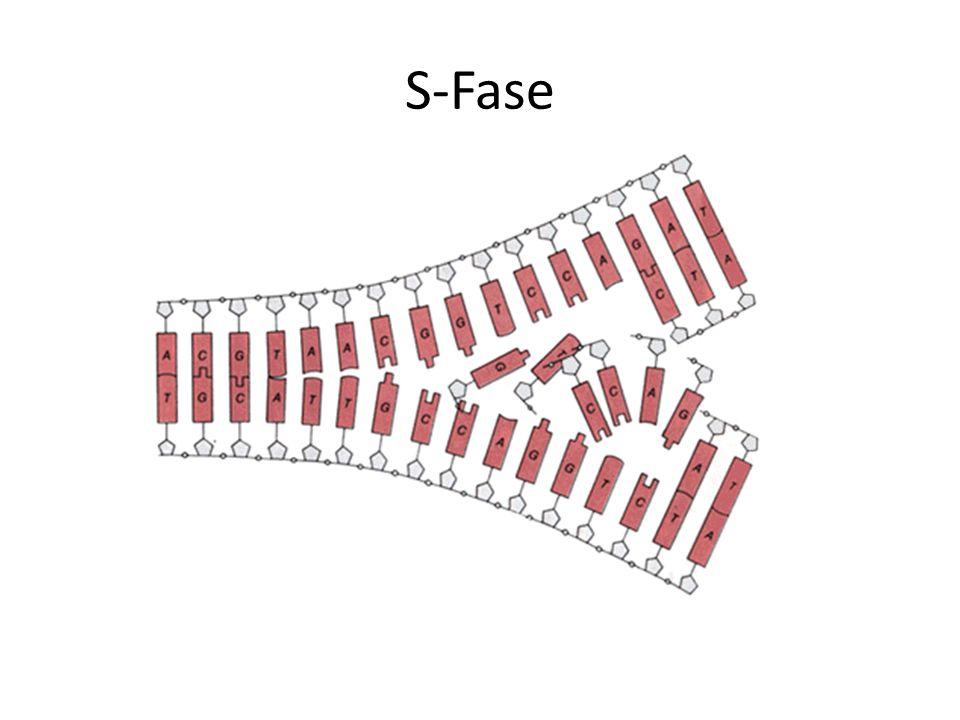 S-Fase