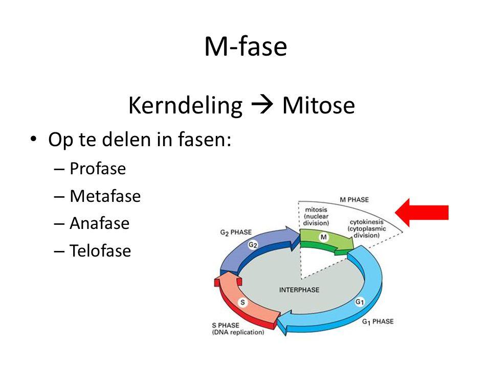 M-fase Kerndeling  Mitose Op te delen in fasen: Profase Metafase