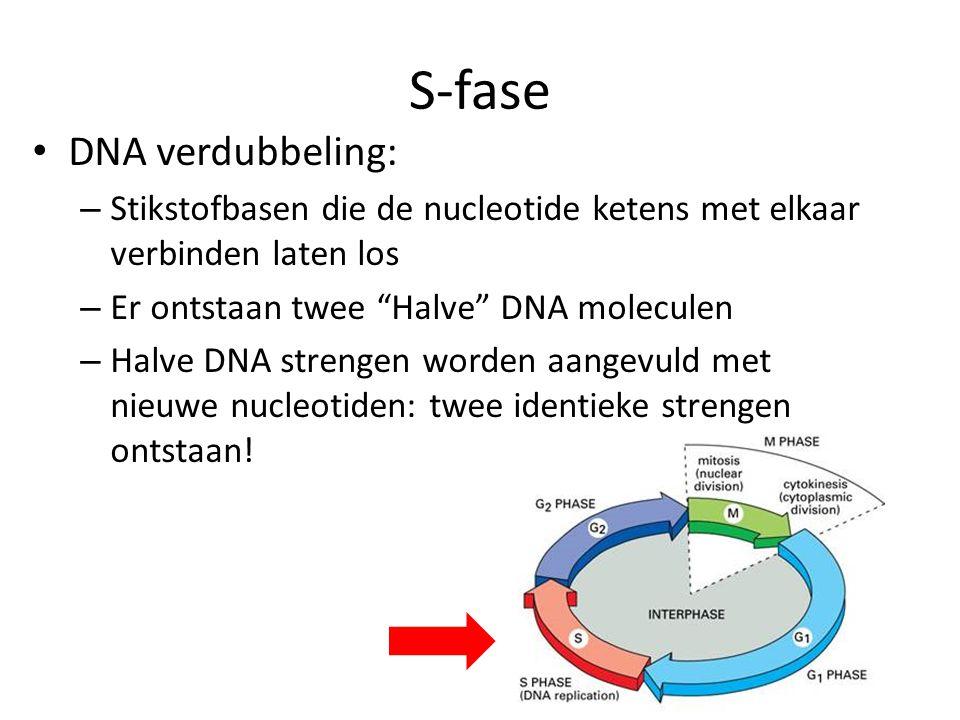 S-fase DNA verdubbeling:
