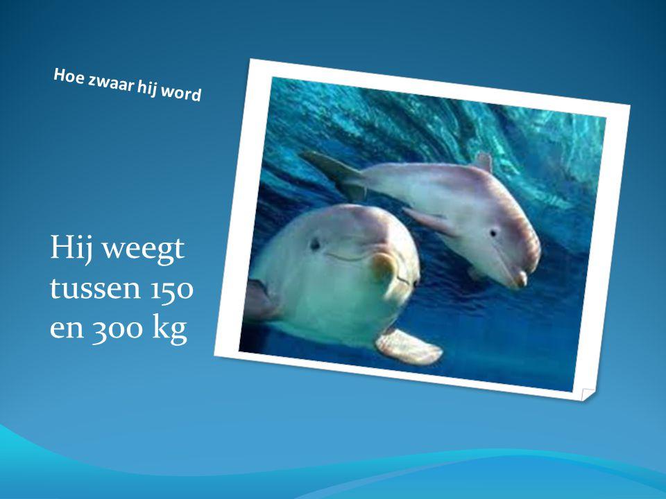 Hoe zwaar hij word Hij weegt tussen 150 en 300 kg