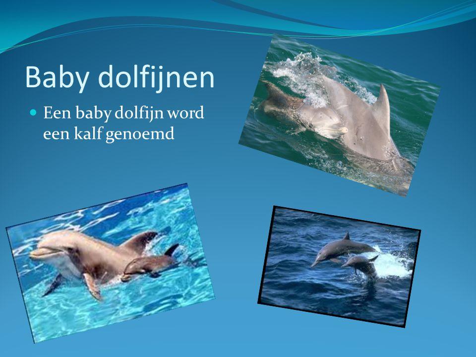 Baby dolfijnen Een baby dolfijn word een kalf genoemd