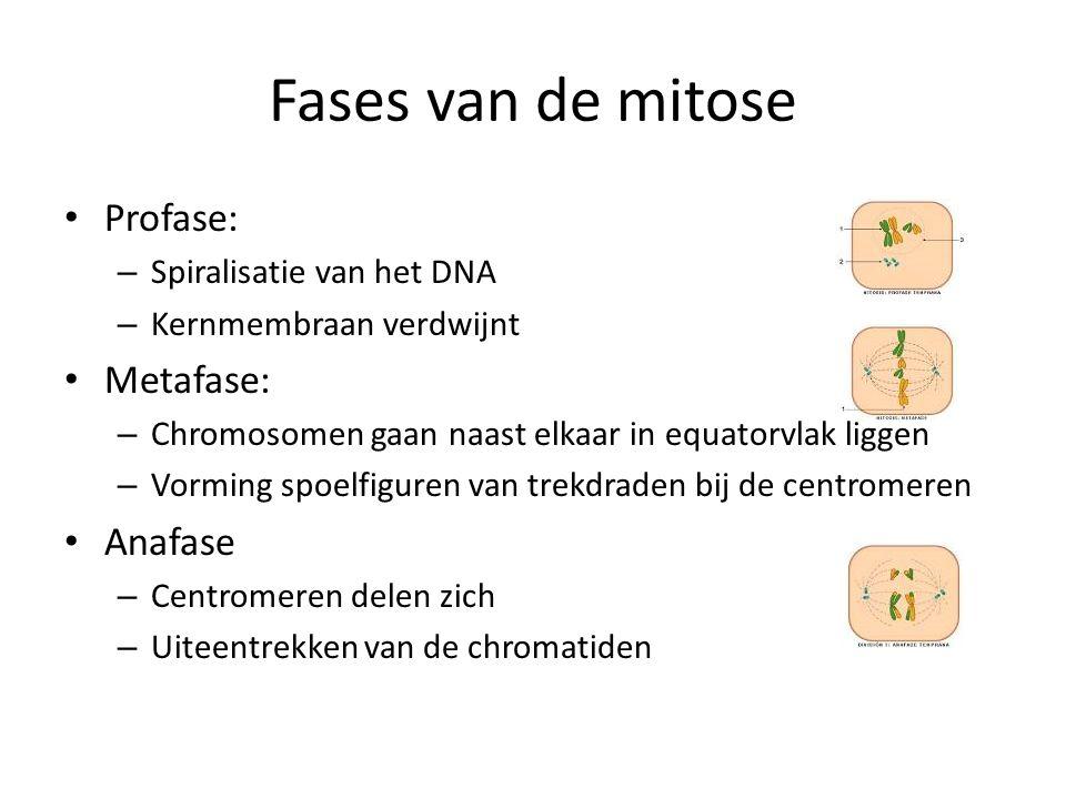Fases van de mitose Profase: Metafase: Anafase