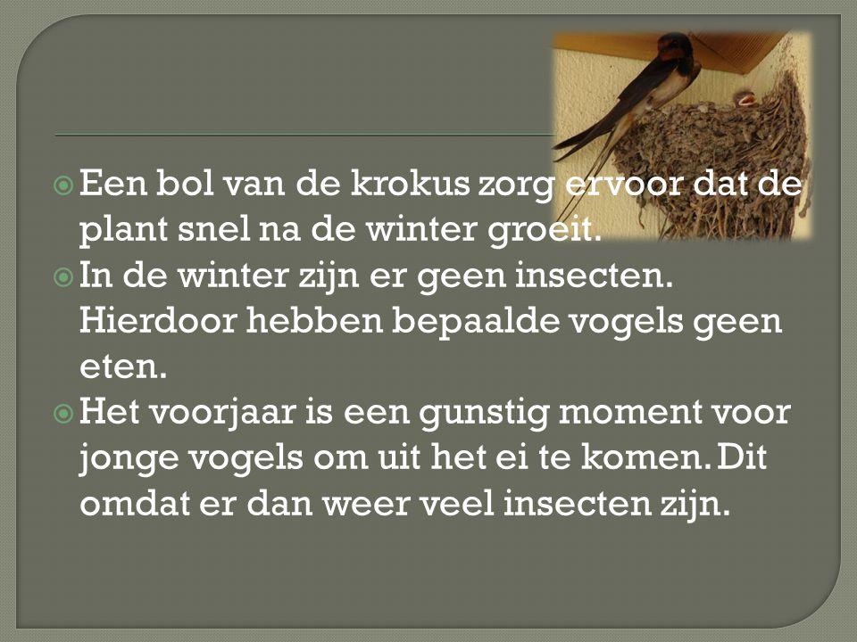 Een bol van de krokus zorg ervoor dat de plant snel na de winter groeit.