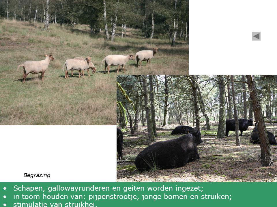 Schapen, gallowayrunderen en geiten worden ingezet;