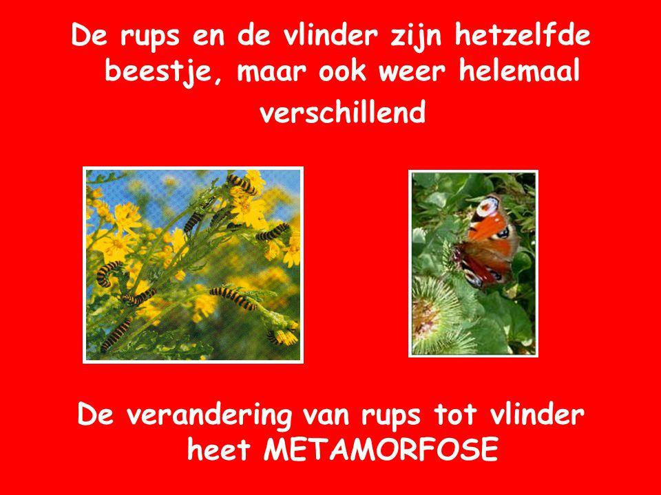 De verandering van rups tot vlinder heet METAMORFOSE