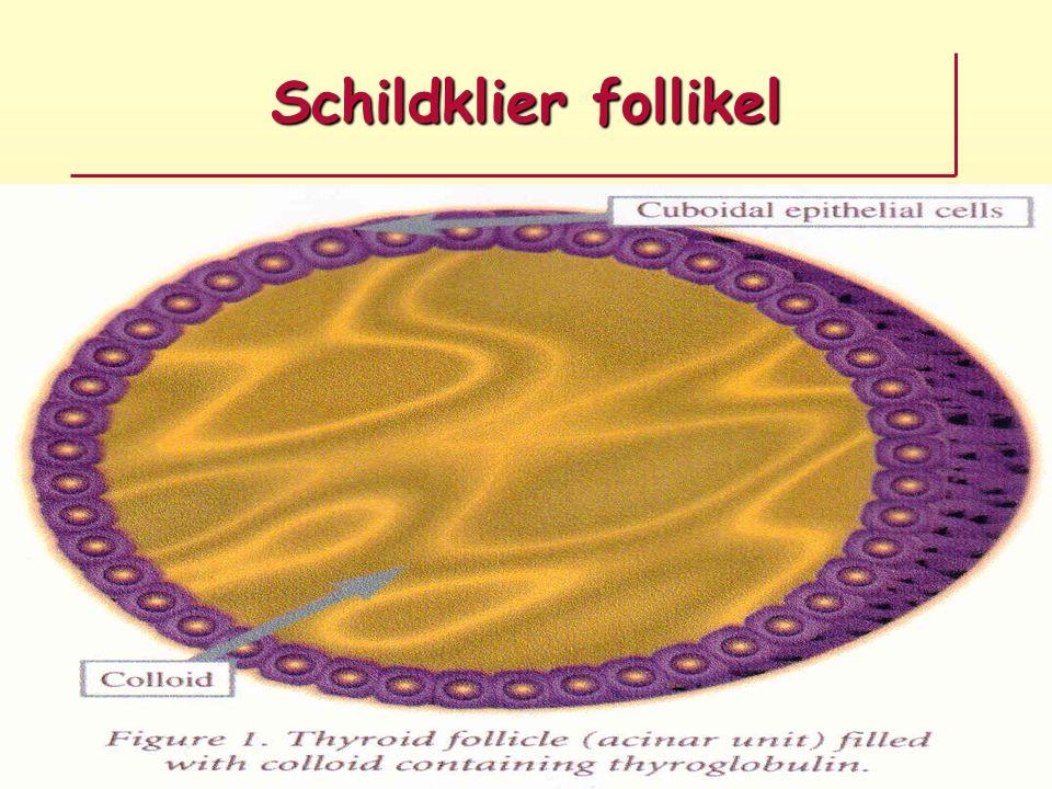 Schildklier follikel