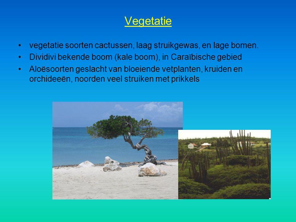 Vegetatie vegetatie soorten cactussen, laag struikgewas, en lage bomen. Dividivi bekende boom (kale boom), in Caraïbische gebied.