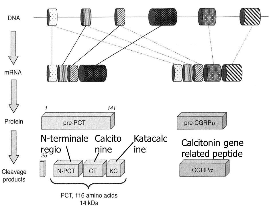 N-terminale regio Calcitonine Katacalcine Calcitonin gene related peptide