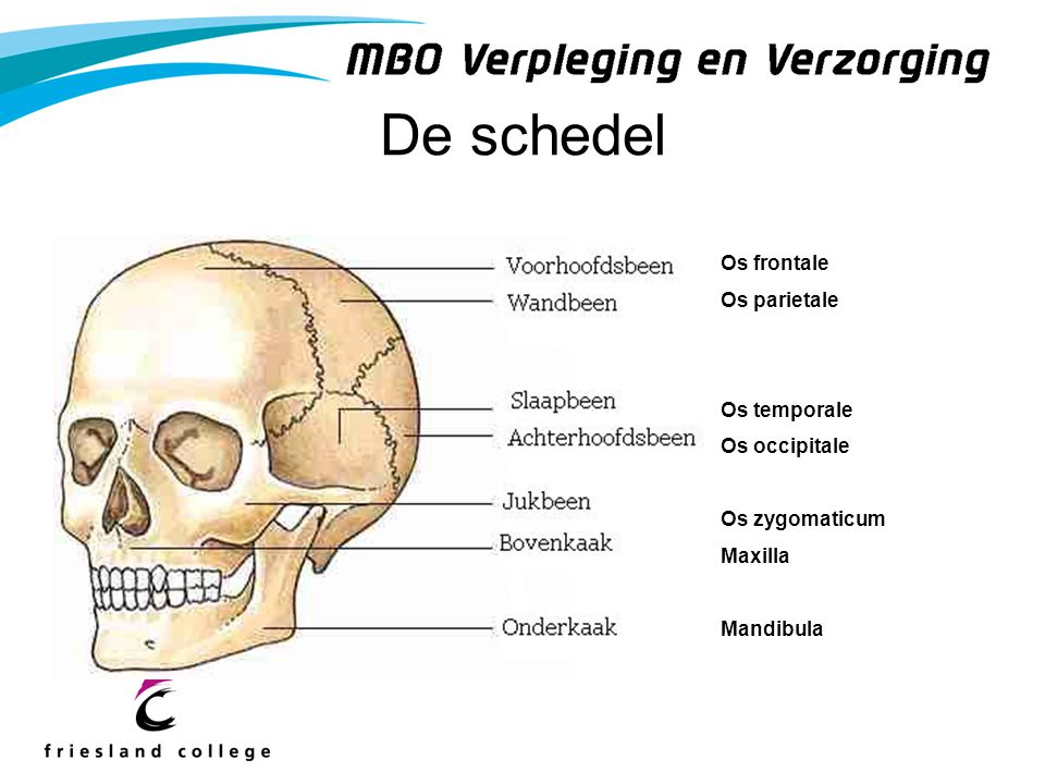 De schedel Os frontale Os parietale Os temporale Os occipitale