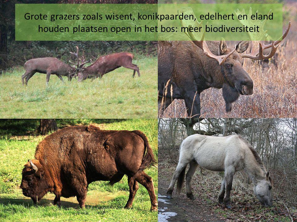 Grote grazers zoals wisent, konikpaarden, edelhert en eland houden plaatsen open in het bos: meer biodiversiteit