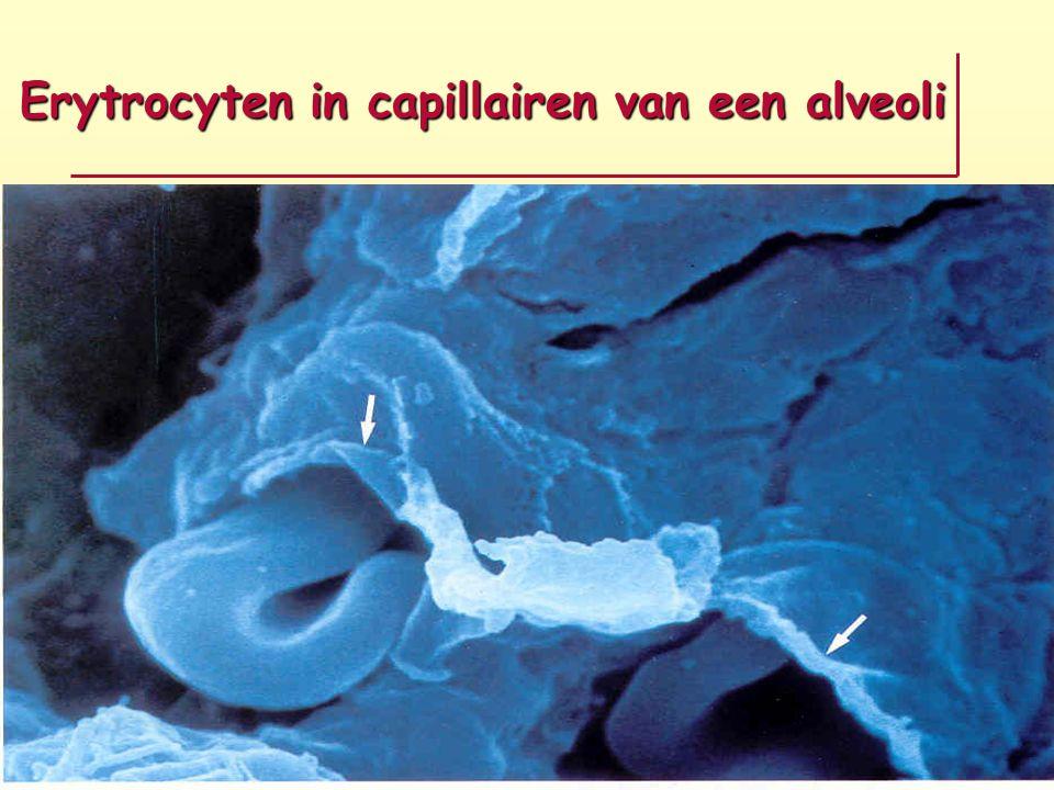 Erytrocyten in capillairen van een alveoli
