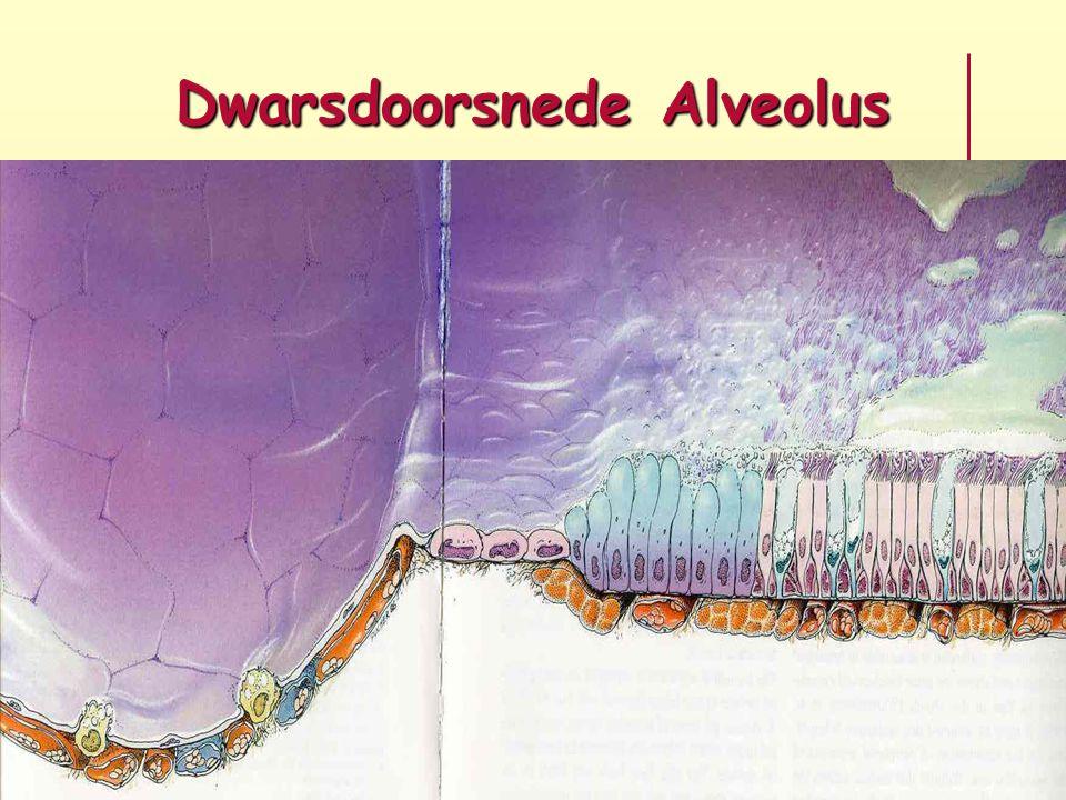 Dwarsdoorsnede Alveolus