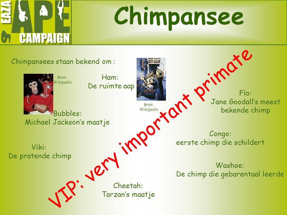 Chimpansee VIP: very important primate Chimpansees staan bekend om :