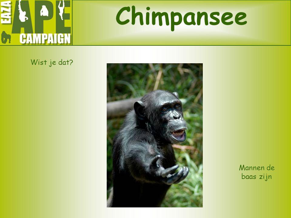 Chimpansee Wist je dat Mannen de baas zijn
