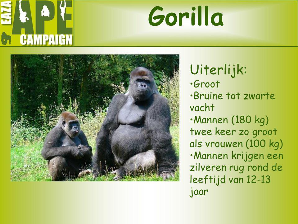 Gorilla Uiterlijk: Groot Bruine tot zwarte vacht