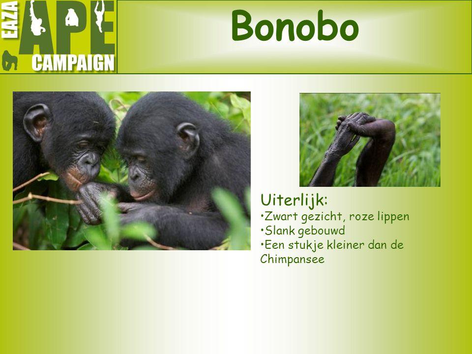 Bonobo Uiterlijk: Zwart gezicht, roze lippen Slank gebouwd