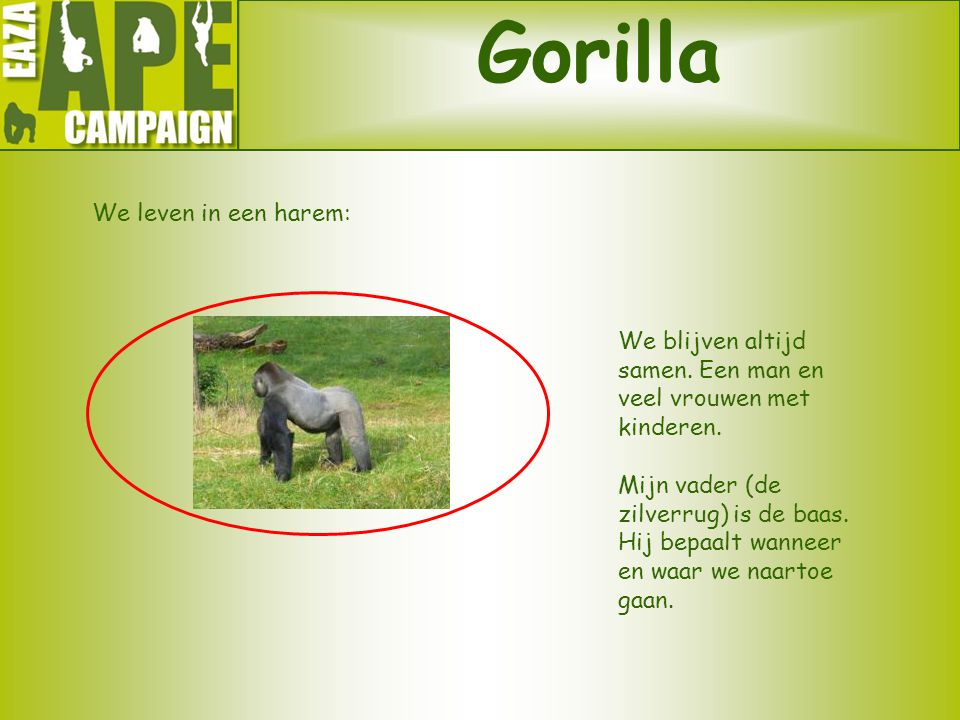 Gorilla We leven in een harem: