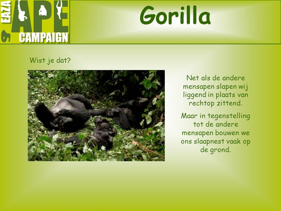 Gorilla Wist je dat Net als de andere mensapen slapen wij liggend in plaats van rechtop zittend.