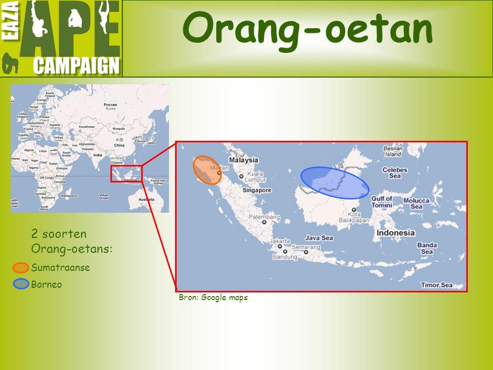 Orang-oetan 2 soorten Orang-oetans: Sumatraanse Borneo