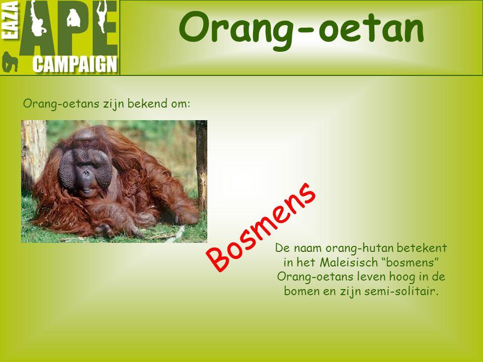 Orang-oetans zijn bekend om: