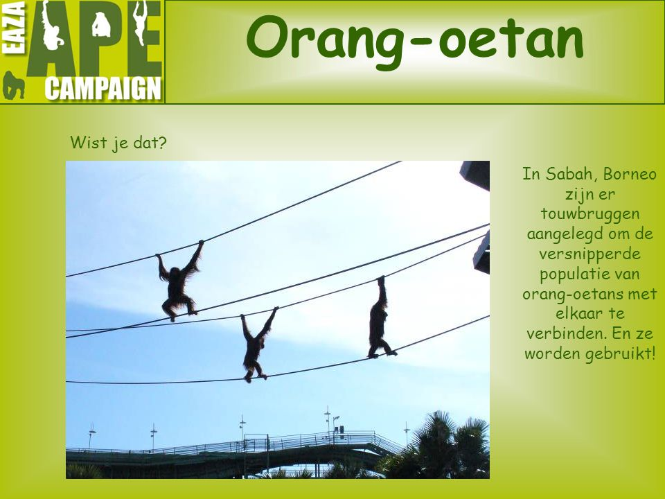 Orang-oetan Wist je dat