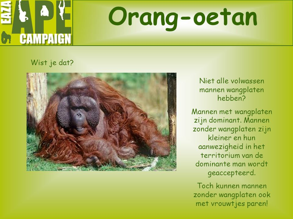Orang-oetan Wist je dat Niet alle volwassen mannen wangplaten hebben