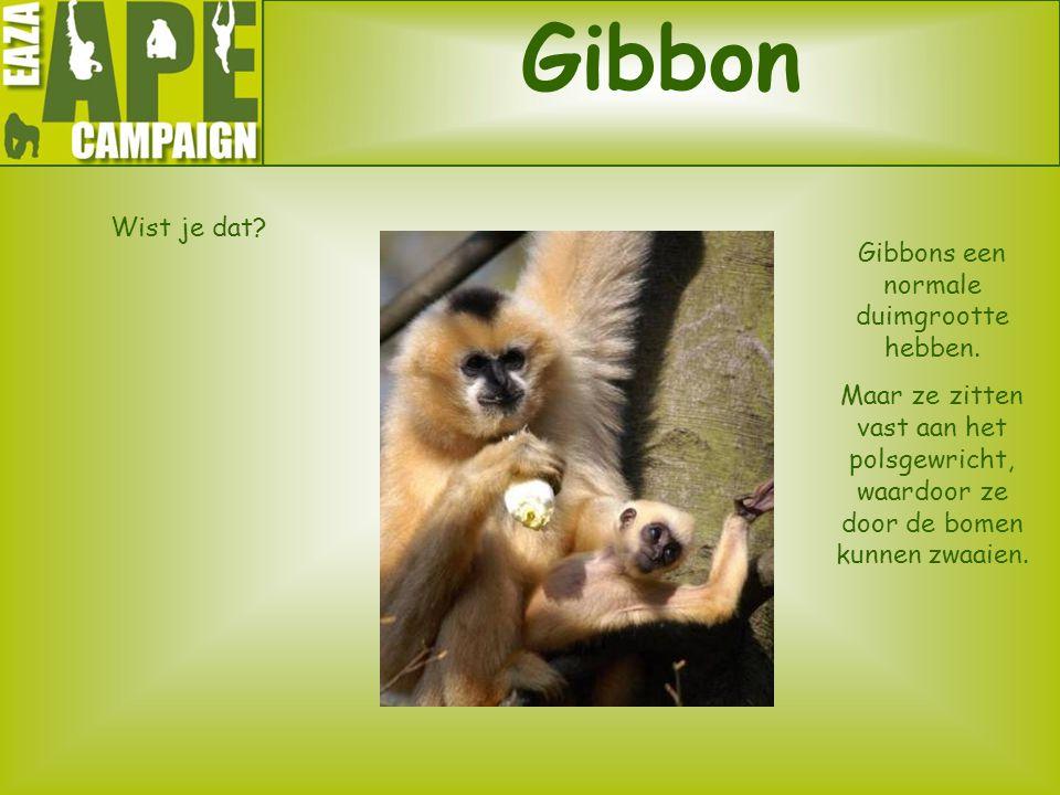 Gibbons een normale duimgrootte hebben.