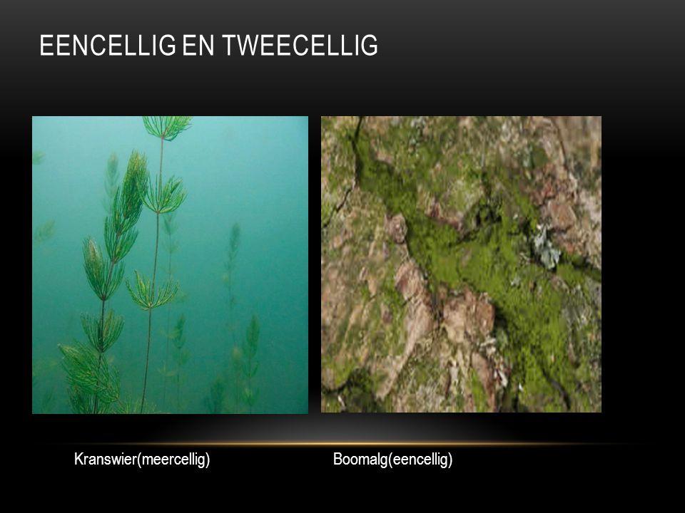Eencellig en Tweecellig