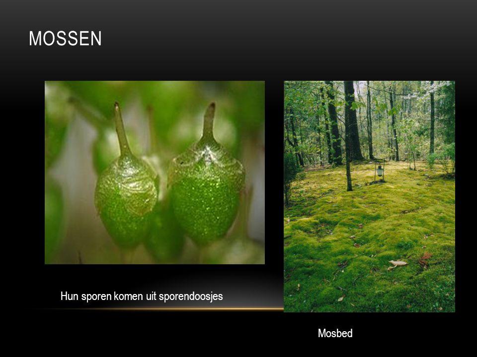 Mossen Hun sporen komen uit sporendoosjes Mosbed