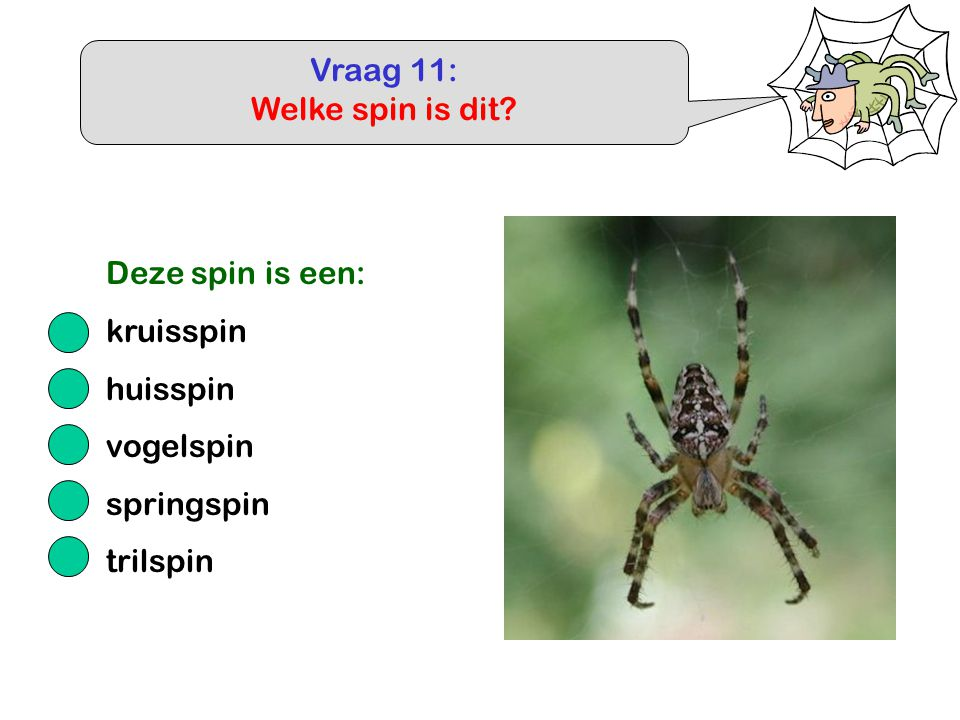 Vraag 11: Welke spin is dit Deze spin is een: kruisspin huisspin vogelspin springspin trilspin
