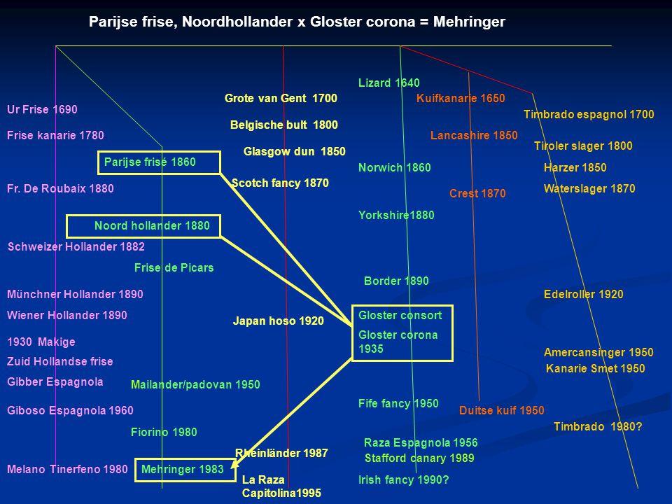 Parijse frise, Noordhollander x Gloster corona = Mehringer