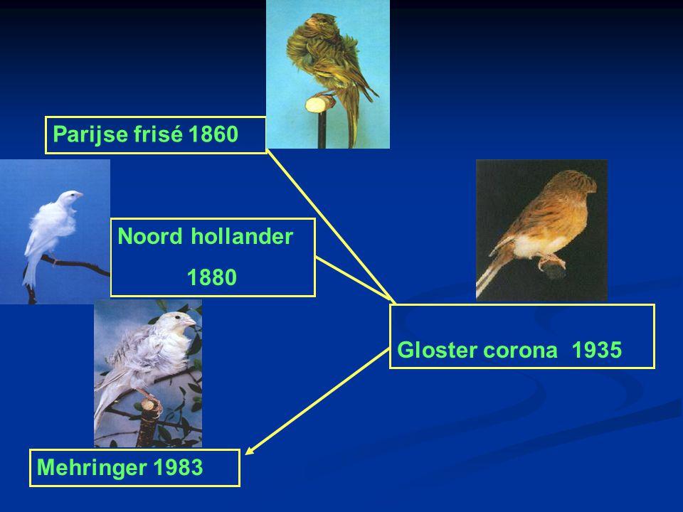 Parijse frisé 1860 Noord hollander 1880 Gloster corona 1935 Mehringer 1983