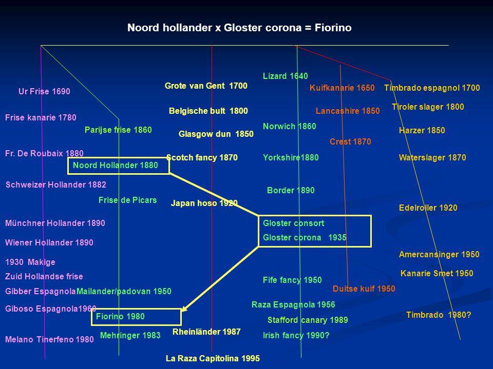 Noord hollander x Gloster corona = Fiorino