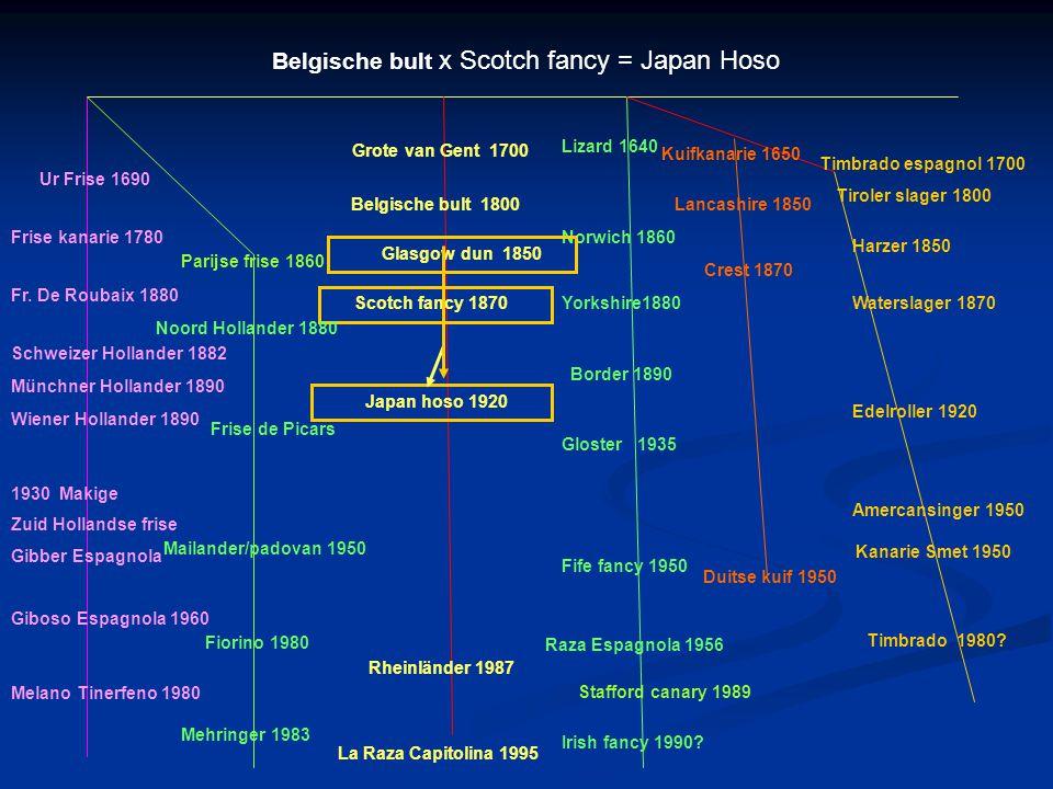 Belgische bult x Scotch fancy = Japan Hoso