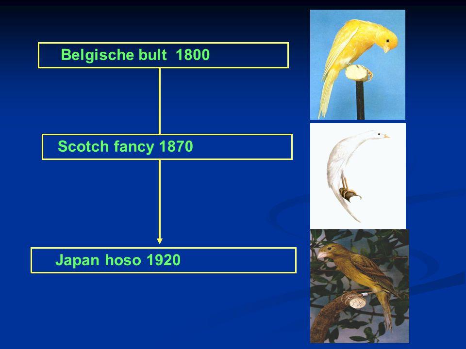 Belgische bult 1800 Scotch fancy 1870 Japan hoso 1920
