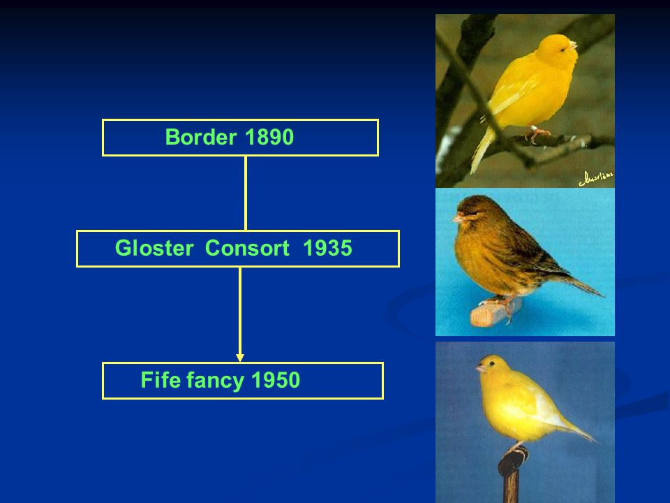 Border 1890 Gloster Consort 1935 Fife fancy 1950