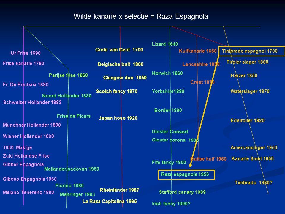 Wilde kanarie x selectie = Raza Espagnola