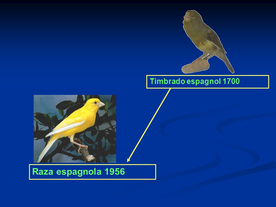 Timbrado espagnol 1700 Raza espagnola 1956