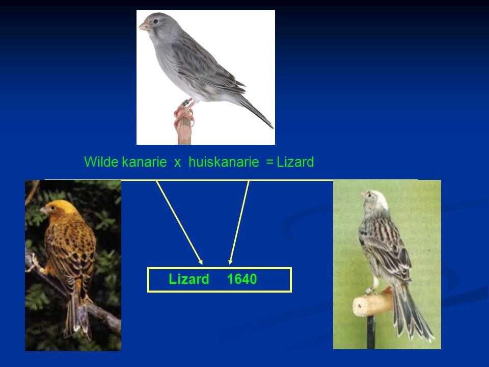 Wilde kanarie x huiskanarie = Lizard