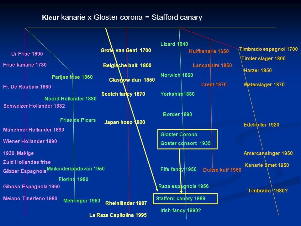 Kleur kanarie x Gloster corona = Stafford canary