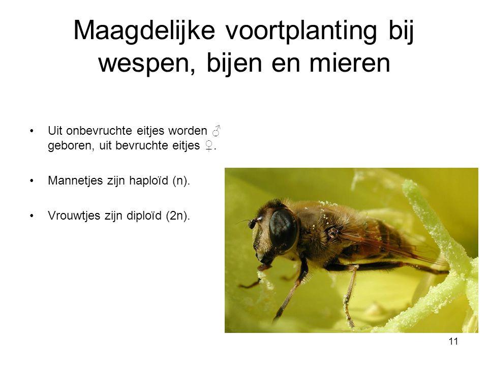 Maagdelijke voortplanting bij wespen, bijen en mieren
