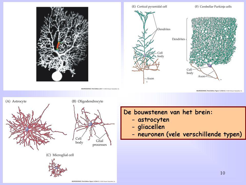 Een aantal verschillende typen neuronen: