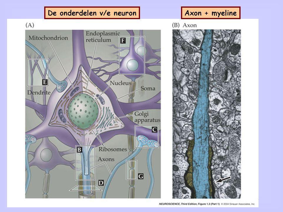 Synapsen en myeline De onderdelen v/e neuron