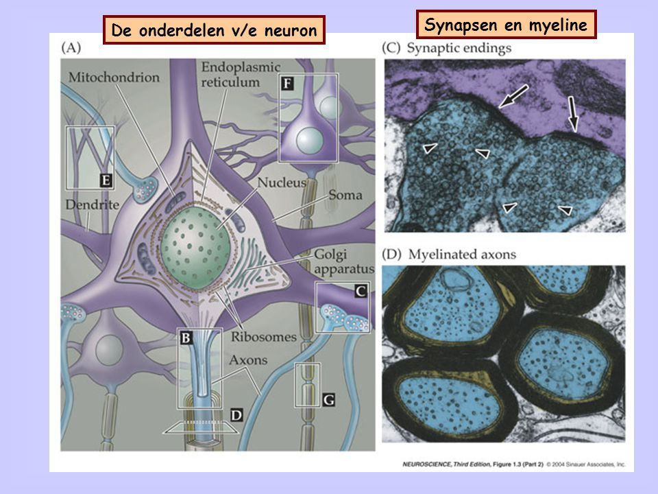 De dendrieten De onderdelen v/e neuron
