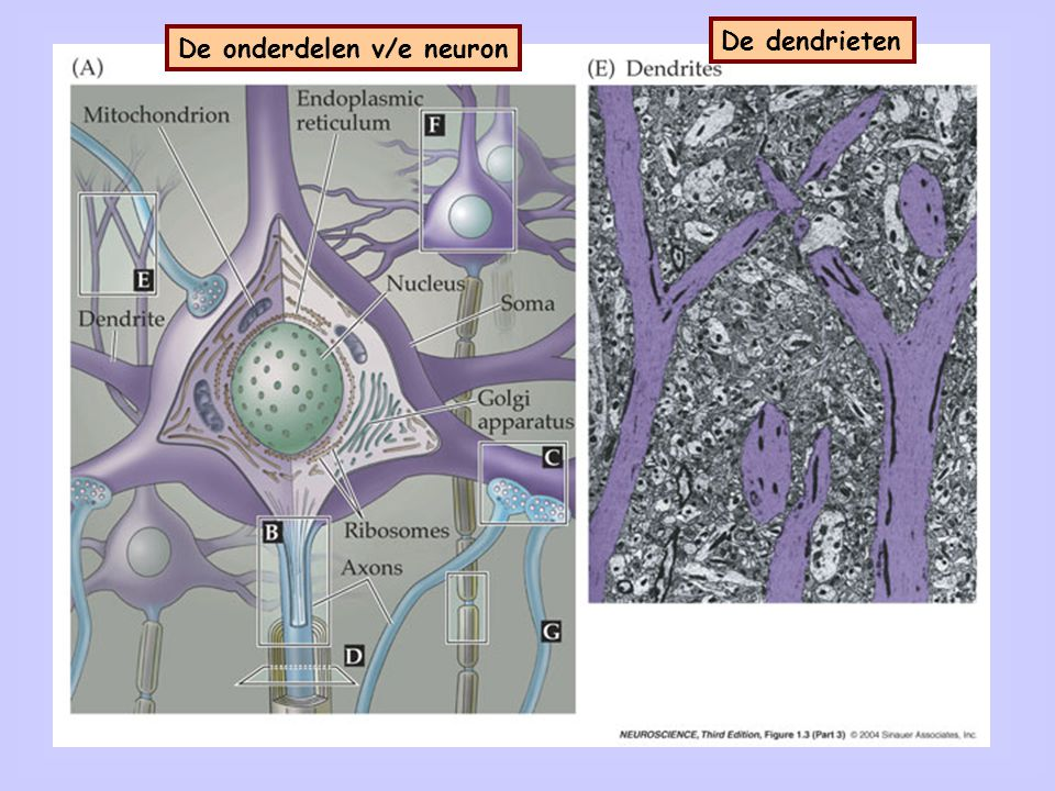 Het cellichaam De onderdelen v/e neuron