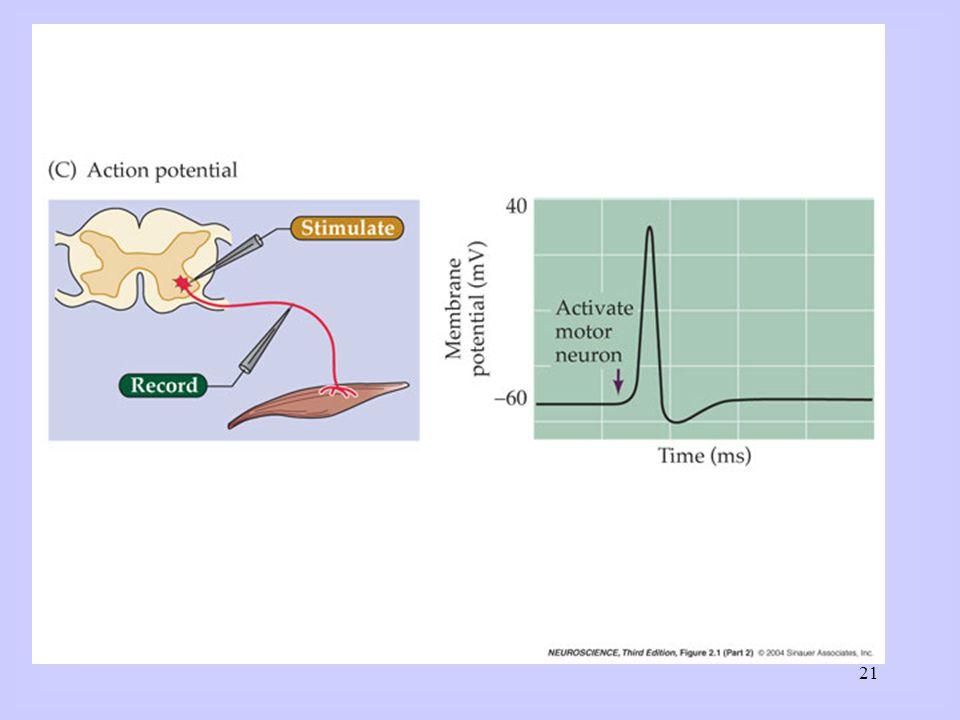 Structuur en functie: verschillende corticale gebieden