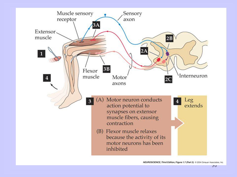 Meting aan neurale circuits met micro-electroden: Individuele membraanpotentialen