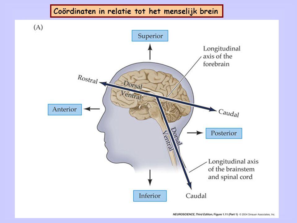 Denkbeeldige vlakken door het menselijk brein