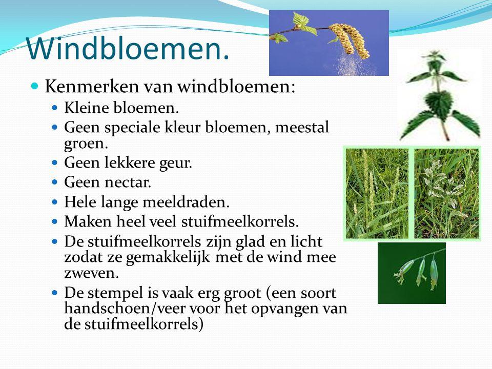 Windbloemen. Kenmerken van windbloemen: Kleine bloemen.